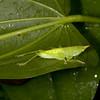 Peru 2014: Tamshiyacu-Tahuayo Reserve -Katydid nymph (Tettigoniidae: Conocephalinae)