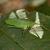 Costa Rica 2013: Uvita - 025 Katydid (Tettigoniidae: probably Pseudophyllinae)