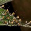 Costa Rica 2013: Uvita - 336 Giant Grasshopper nymphs (Romaleidae: Romaleinae: Romaleini: Tropidacris cristata)