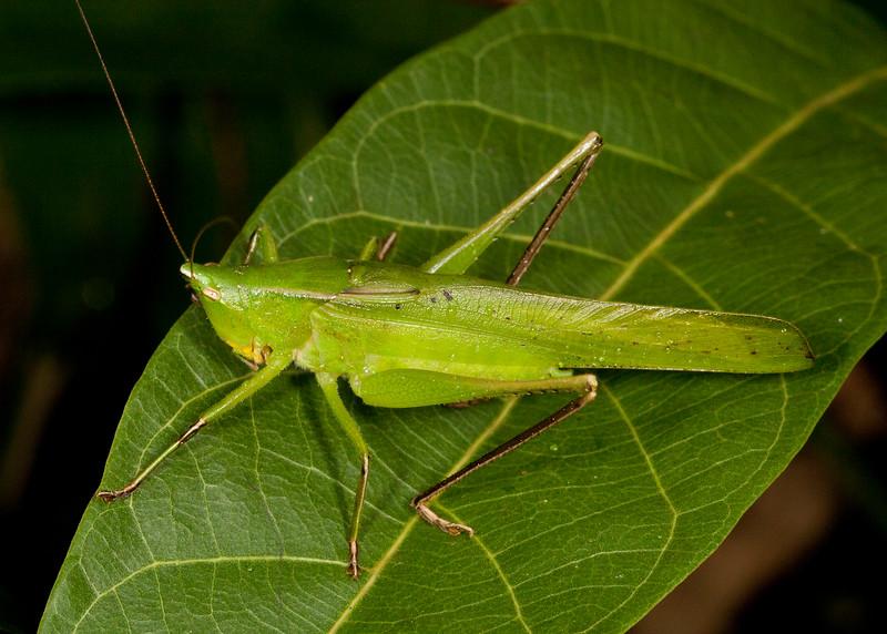 Peru 2014: Tamshiyacu-Tahuayo Reserve - Conehead Katydid (Tettigoniidae: Conocephalinae: Neoconocephalus sp.)