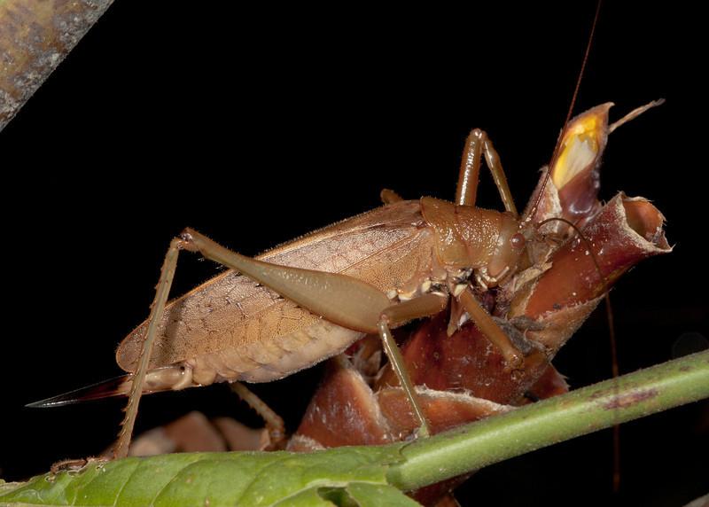 Costa Rica 2013: Dominical - 392 Katydid (Phaneropteridae: Pleminiinae: probably Cocconotini) [formerly Tettigoniidae: Pseudophyllinae)
