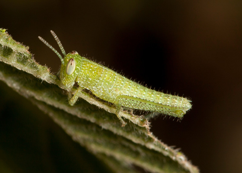 Costa Rica 2013: Dominical - 037 Grasshopper nymph