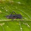 Ecuador 2012: Mindo - 044 Blue Pygmy Mole Cricket (Ripipterygidae: Ripipteryginae: Ripipteryx sp.)