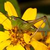 Belize 2017: Hickatee Cottages - Meadow Katydid (Tettigoniidae: Conocephalinae: Conocephalini: Conocephalus sp.)