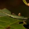 Peru 2014: Tamshiyacu-Tahuayo Reserve - Slant-faced, Toothpick or Mimic Grasshopper (Pyrgomorphidae: Pyrgomorphinae: Omurini: Omura congrua)