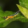 Ecuador 2012: Sacha Lodge - Spur-throat Toothpick Grasshopper (Acrididae: Leptysminae: probably Stenopola boliviana)