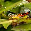 Peru 2014: Tamshiyacu-Tahuayo Reserve - Grasshopper (Acrididae: Leptysminae: Tetrataeniini: Tetrataenia surinama)