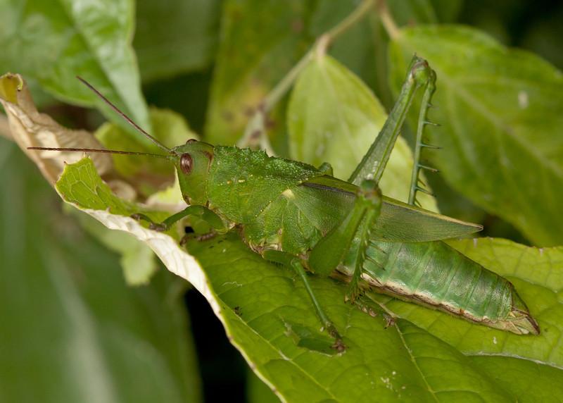 Ecuador 2012: Mindo - Female lubber grasshopper (Romaleidae:  Romaleinae: Elaeochlorini: Agriacris magnifica)