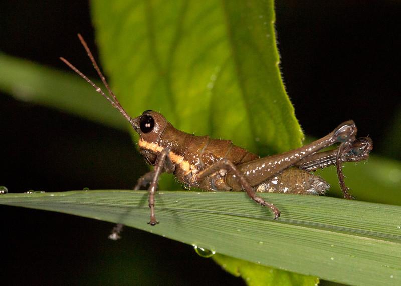 Ecuador 2012: Mindo - Female grasshopper (Acrididae: Rhytidochrotinae: Trichopaon cf. tatei)