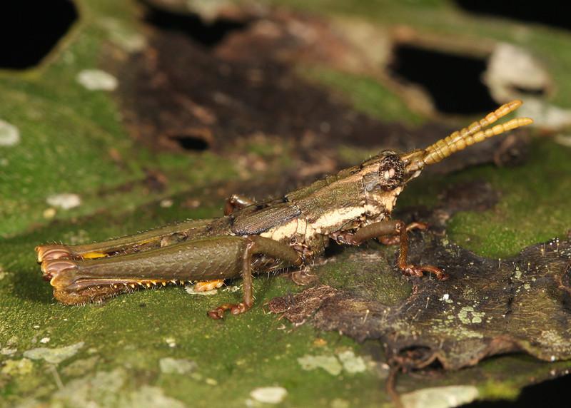 Ecuador 2012: Sacha Lodge - Grasshopper (Acrididae: Ommatolampidinae: Ommatolampidini: probably Locheuma brunneri)