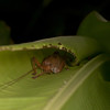 Costa Rica 2013: Uvita - 273 Katydid (Tettigoniidae)