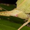 Belize 2017: Hickatee Cottages - Leaf-mimicing katydid (Tettigoniidae: Phaneropteridae grp.: Phaneropterinae: Aegimia cf. cultrifera)