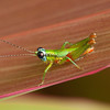 Costa Rica 2013: Uvita - 011 Grasshopper (Acrididae: Proctolabinae: Proctolabini: Ampelophilus sp.; probably A. olivaceus)