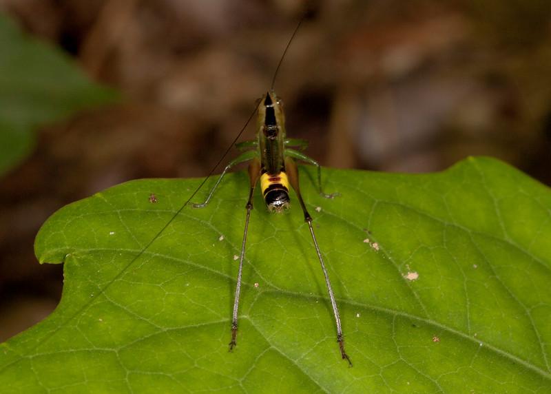 Peru 2012: Rio Madre de Dios - 078 Meadow Katydid nymph (Tettigoniidae: Conocephalinae: Conocephalini: Conocephalus sp.)