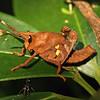 Costa Rica 2010: Arenal - Lubber grasshopper (Romeleidae: Romaleinae: Procolpini: Munatia biolleyi)