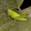 Costa Rica 2013: Uvita - 367 Grasshopper nymph (Acrididae)