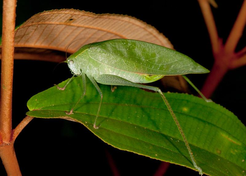 Peru 2014: Tamshiyacu-Tahuayo Reserve - Broad-winged or Angle-winged Katydid (Phaneropteridae: Phaneropterinae)
