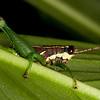 Costa Rica 2013: Dominical - 472 Grasshopper (Acrididae: Ommatolampidinae: Ommatolampidini: Leptomerinthoprora sp.; probably L. brevipennis)
