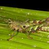 Peru 2014: Tamshiyacu-Tahuayo Reserve - Moss or lichen-mimicing grasshopper (Acrididae: Ommatolampidinae: Ommatolampidini: Bryophilacris cryptica)