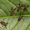 Costa Rica 2013: Uvita - 262 Giant Grasshopper nymphs (Romaleidae: Romaleinae: Romaleini: Tropidacris cristata)