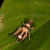 Peru 2012: Rio Madre de Dios - 104 Grasshopper (Acrididae: Ommatolampidinae: Ommatolampidini: Episomacris sp.)