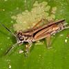 Peru 2014: Tamshiyacu-Tahuayo Reserve -  Pygmy Mole Cricket (Tridactylidae)