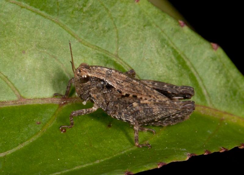Peru 2014: Tamshiyacu-Tahuayo Reserve - Pygmy Grasshopper (Tetrigidae: Batrachideinae: possibly Tettigidea sp.)