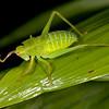 Ecuador 2012: Mindo - Katydid nymph (Tettigoniidae:  Phaneropteridae)