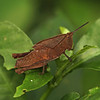 Ecuador 2012: Sacha Lodge - Slant-backed Grasshopper (Romaleidae: Romaleinae: Colpolopha sp.; probably C. latipennis)