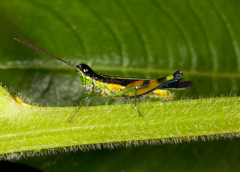 Peru 2014: Tamshiyacu-Tahuayo Reserve - Spur-throat Toothpick Grasshopper (Acrididae: Leptysminae: Tetrataeniini: Stenopola sp.; possibly S. boliviana)