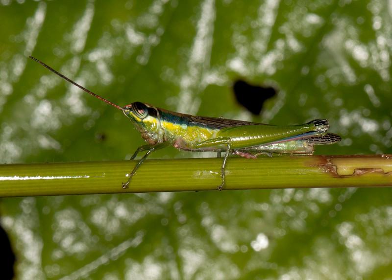 Peru 2014: Tamshiyacu-Tahuayo Reserve - Spur-throat Toothpick Grasshopper (Acrididae: Leptysminae: Tetrataeniini: possibly Stenopola sp.)