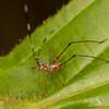 Peru 2014: Tamshiyacu-Tahuayo Reserve - Bush Katydid nymph (Phaneropteridae: Phaneropterinae: Phaneropterini: possibly Scudderia sp.)  [formerly Tettigoniidae: Phaneropterinae: Phaneropterini]