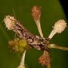 Peru 2014: Tamshiyacu-Tahuayo Reserve - Unidentified grasshopper (Acrididae)