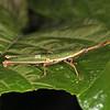 Peru 2012: Rio Madre de Dios -  0.27 Slant-faced, Toothpick or Mimic Grasshopper (Pyrgomorphidae: Pyrgomorphinae: Omurini: Omura congrua)