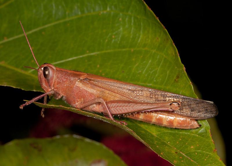Costa Rica 2013: Uvita - 007 Probably a Bird Grasshopper (Acrididae: Cyrtacanthacridinae: Cyrtacanthacridini: Schistocerca sp.)