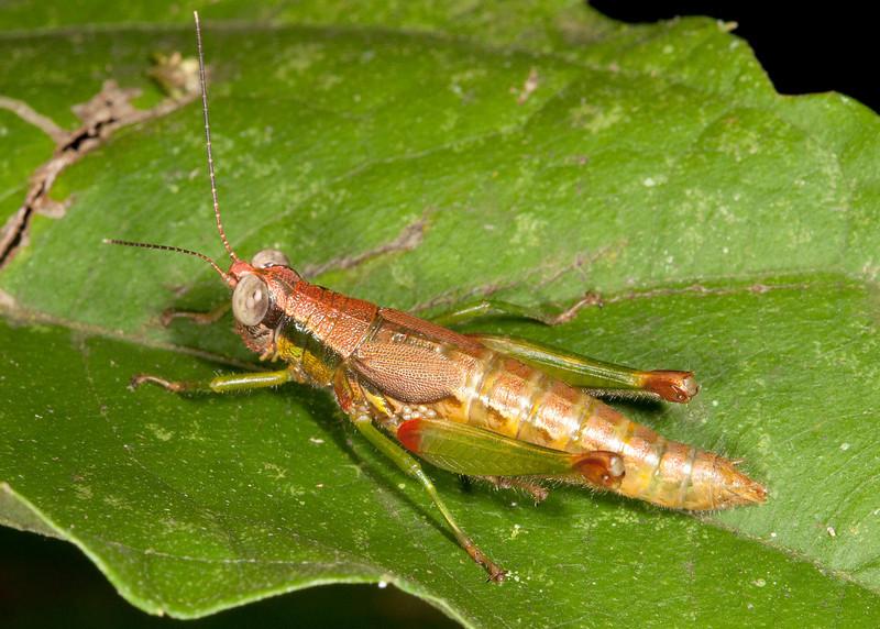 Costa Rica 2013: Uvita - 090 Grasshopper (Acrididae: Proctolabinae: Proctolabini: possibly Ampelophilus sp.)