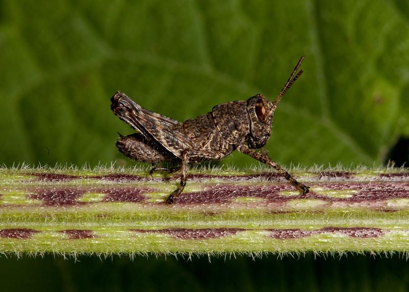 Costa Rica 2013: Uvita - 172 Grasshopper nymph