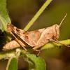 Peru 2014: Tamshiyacu-Tahuayo Reserve - Yellow-lined Abracris nymph (Acrididae: Ommatolampidinae: Abracrini: Abracris  flavolineata)