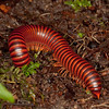 Ecuador 2012: Mindo - Juliform millipede (Diplopoda: Juliformia)