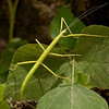 Costa Rica 2013: Uvita - 075 Stick Insect or Walkingstick (Phasmatodea: Diapheromeridae: Diapheromerinae: Diapheromerini) female