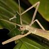 Costa Rica 2013: Dominical - Stick Insect (Pseudophasmatidae: Xerosomatinae: Metriophasma diocles)
