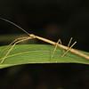 Ecuador 2012: Sacha Lodge - Stick Insect or Walking Stick  (Phasmatodea: Diapheromeridae: near Dyme sp.)