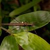 Peru 2014: Tamshiyacu-Tahuayo Reserve - Flying Stick Insect (Pseudophasmatidae; Pseudophasmatinae; Pseudophasma sp.; probably P. velutinum) with a parasitic 'Stick Tick' (Ceratopogonidae: Forcipomyiinae: Forcipomyia [Microhelea] sp.)