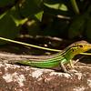 Honduras 2014: Rio Cangrejal - Rainbow Whiptail (Teiidae: Cnemidophorus lemniscatus)
