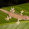 Belize 2017: Hickatee Cottages - Possibly a House Gecko (Gekkonidae: Hemidactylus frenatus)