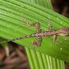 Belize 2018: Jaguar Creek Lodge - Unidentified Anole (Dactyloidae [Polychrotidae]: Norops sp.)