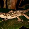 Belize 2017: Hickatee Cottages - Immature Brown or Striped Basilisk (Corytophanidae: Basiliscus vittatus)