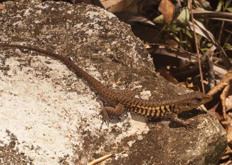 Honduras 2014:  Copan Ruinas - Rainbow Ameiva (Teiidae: Teiinae: Holcosus undulatus)