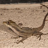 Belize 2018: Mystic River Resort - Ghost Anole (Dactyloidae [Polychrotidae]: Norops lemurinus)