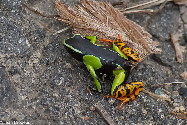 Amphibiens  de Madagascar